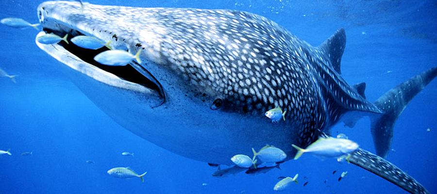 Le requin baleine