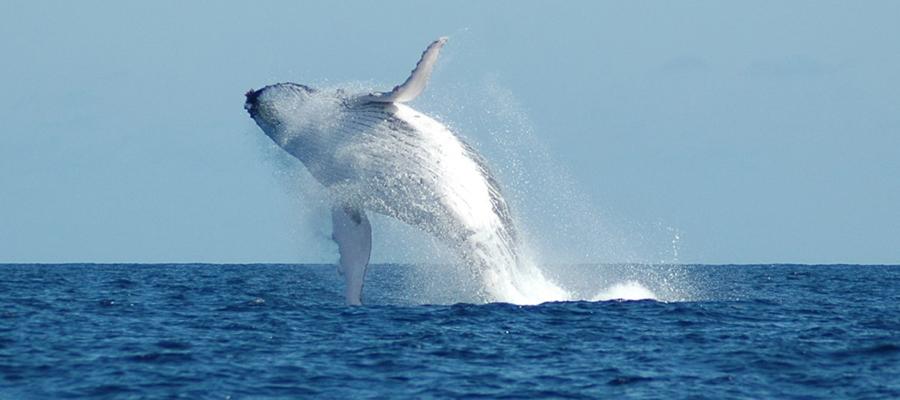 sauver les baleines